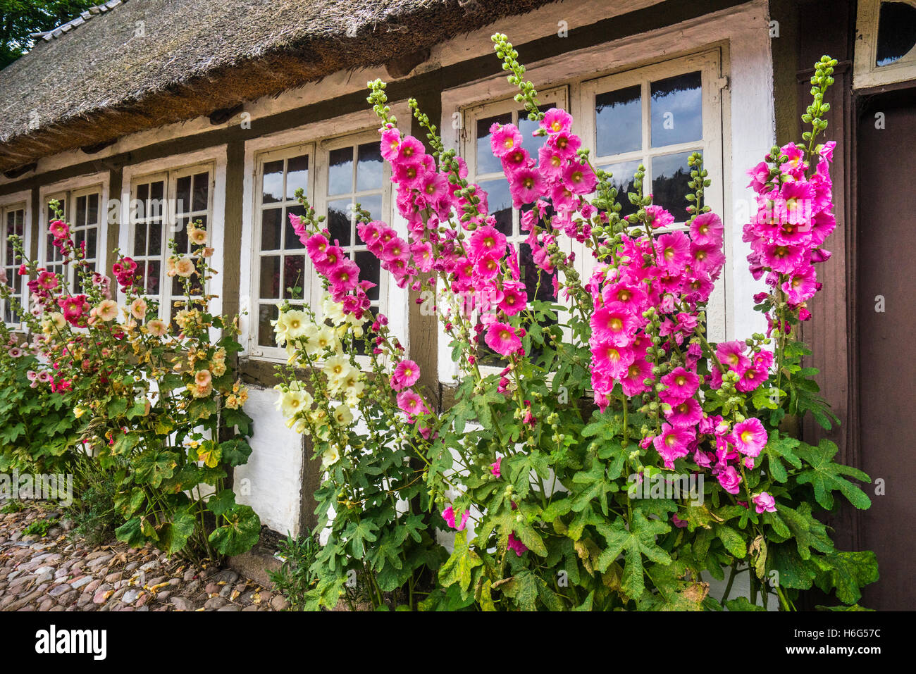 Denmark, Funen, Odense, Funen village open air museum, Malva flowers by the side of a traditional timber framed - Stock Image