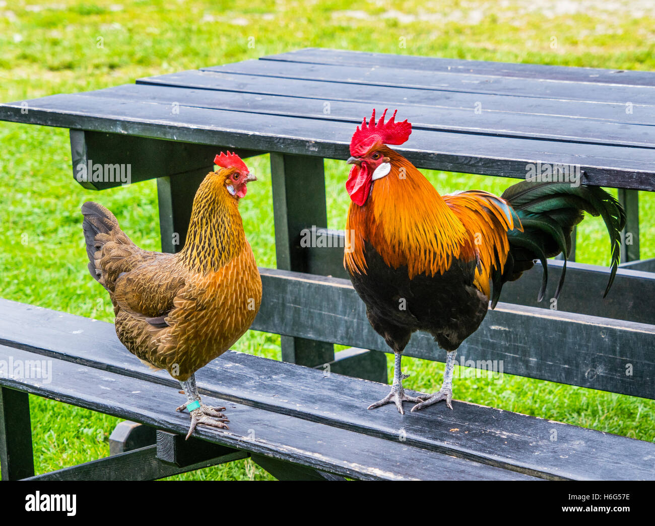 Denmark, Funen, Odense, hen and rooster occupy a picnic table at the Funen village open air museum Stock Photo