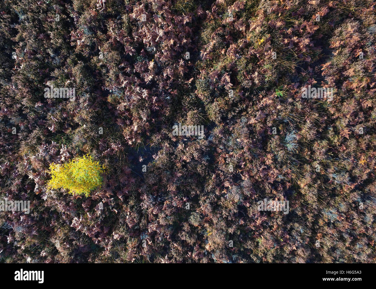 Birds eye view of a small tree in autumn colour surrounded by bracken - Ashdown Forest, East Sussex - Stock Image