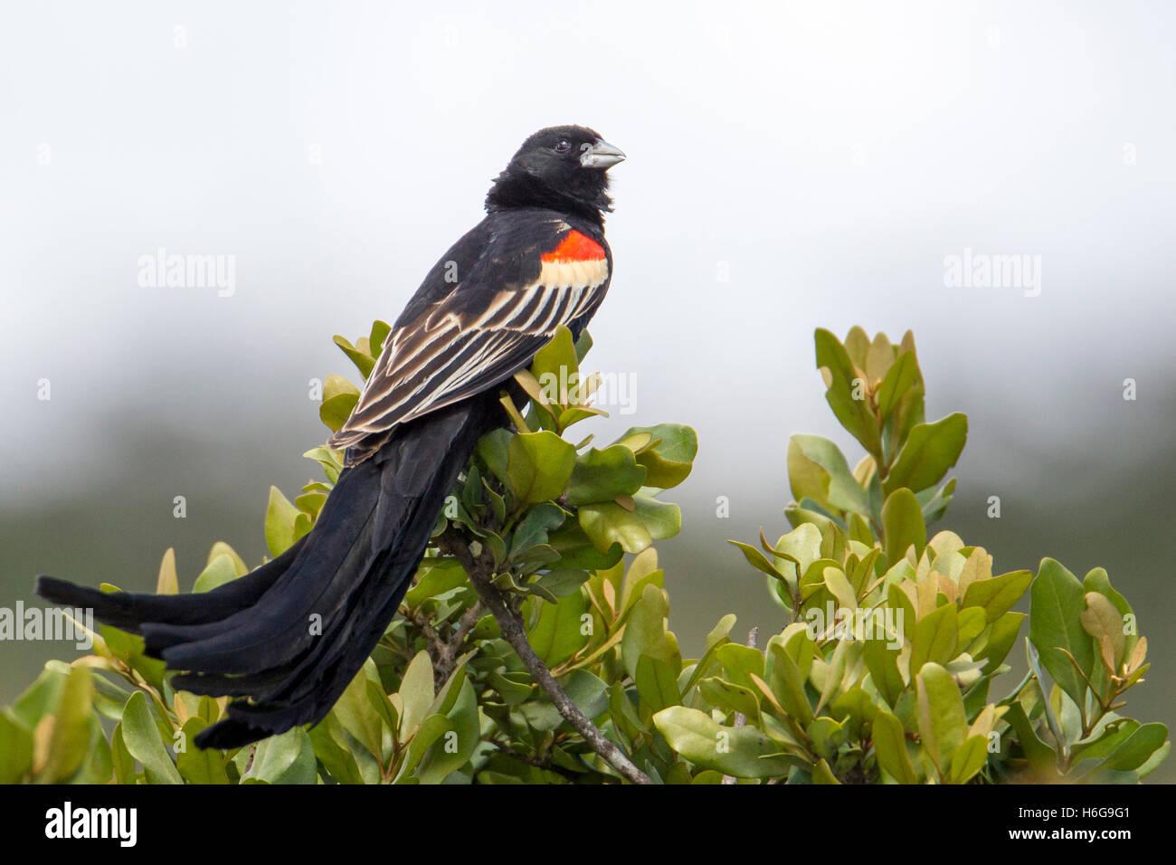 "Long-tailed widowbird Euplectes progne ""Sakabula"" sitting on a bush top Laikipia Kenya Africa ""East Africa"" - Stock Image"