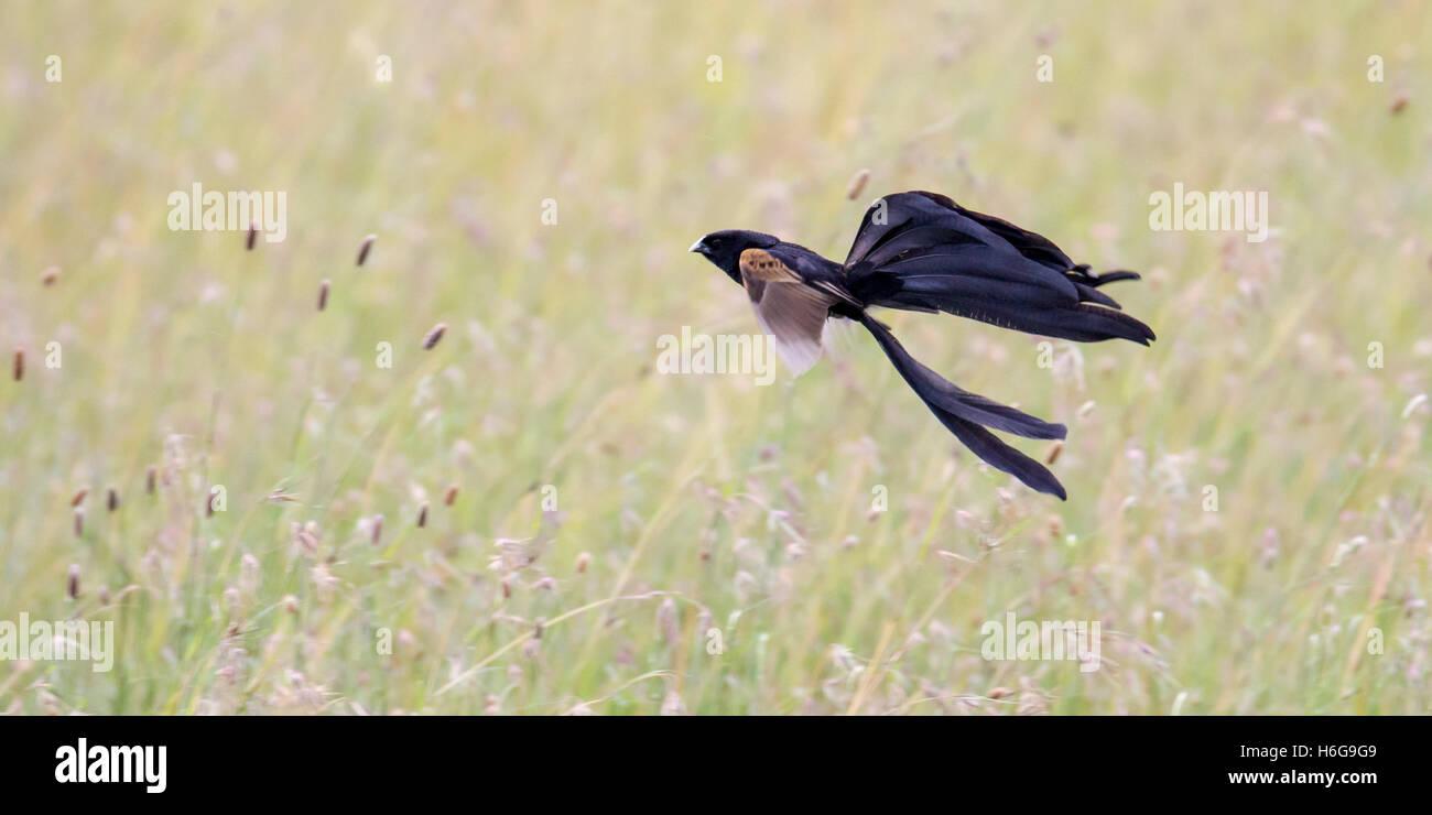 Jackson's widowbird Euplectes jacksoni displaying over grassland, Laikipia Kenya Africa - Stock Image