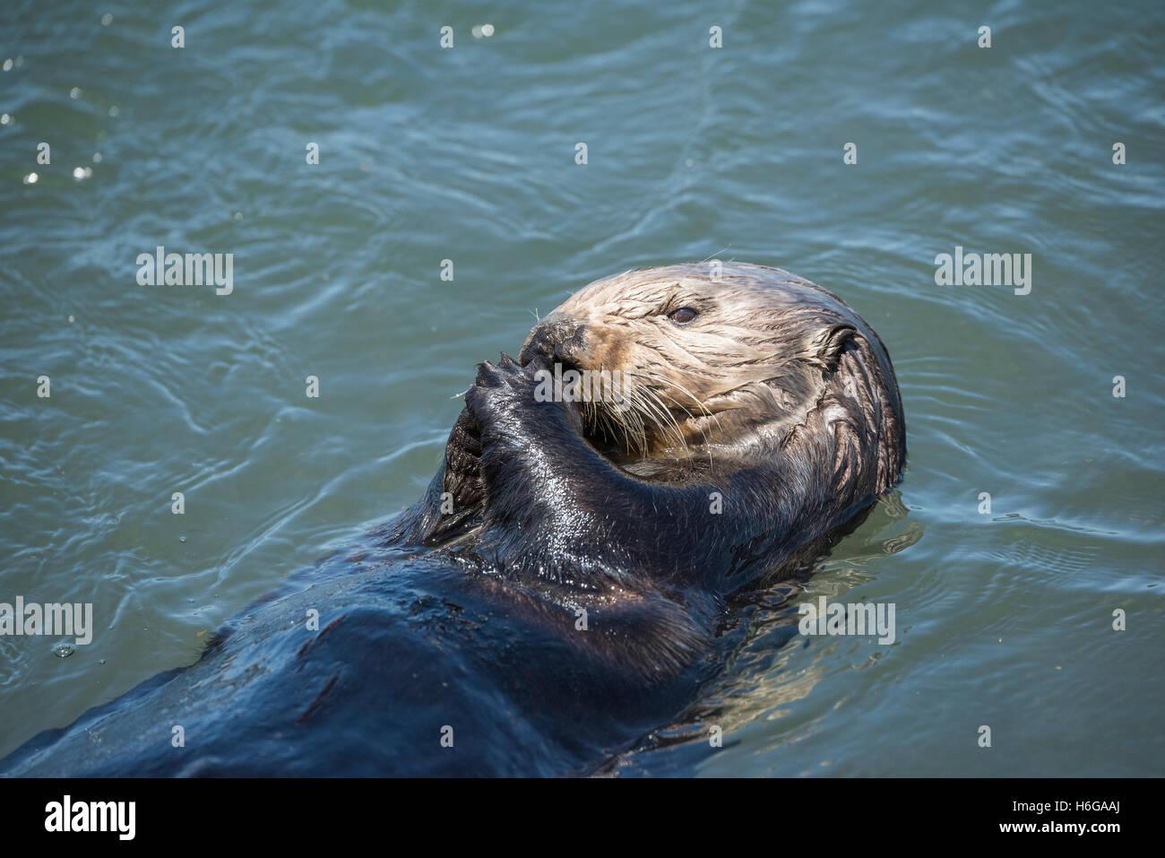 California sea otter, Enhydra lutris nereis ( threatened species ), eating a mussel, Elkhorn Slough, Moss Landing, - Stock Image