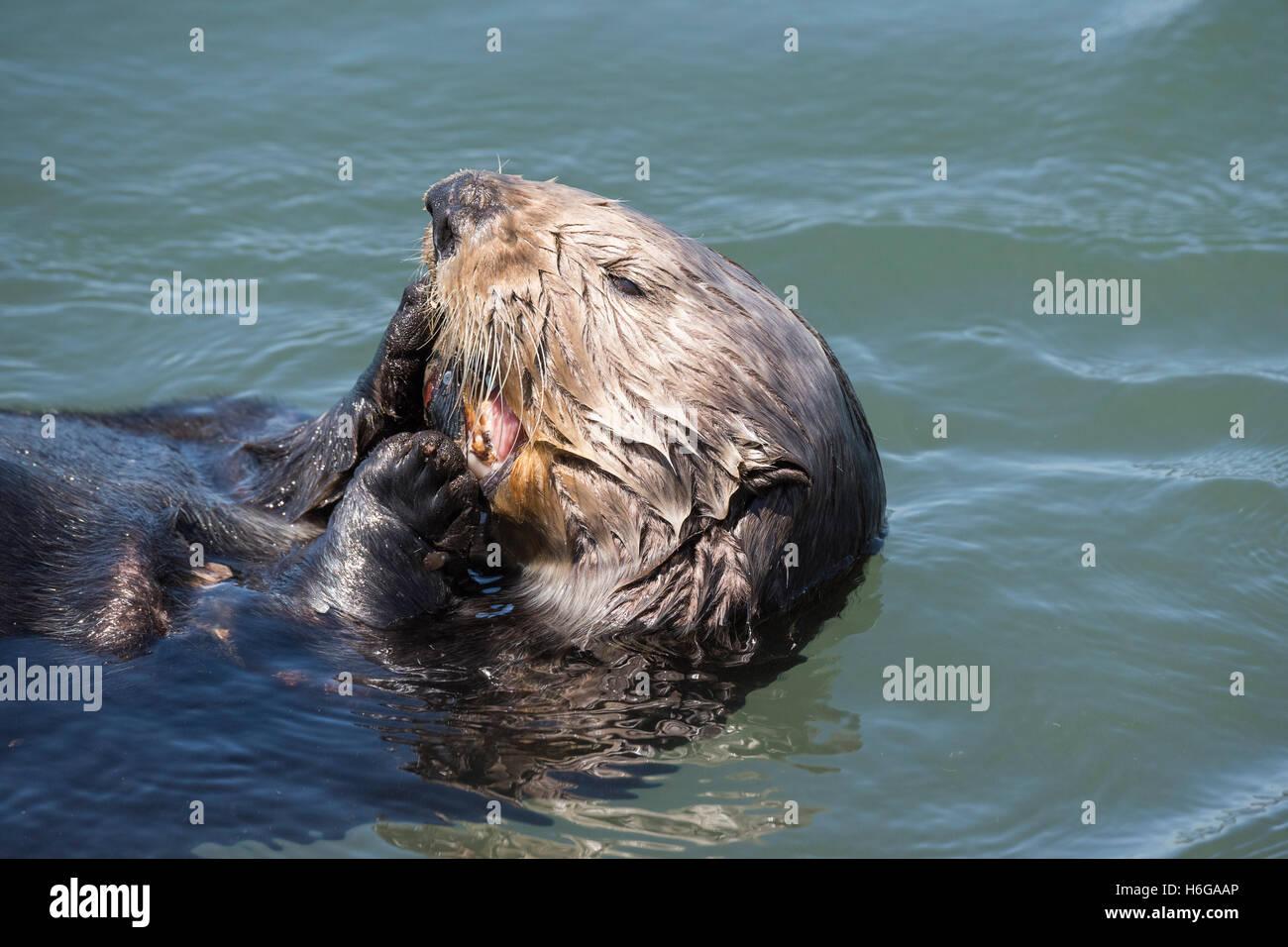 California sea otter, Enhydra lutris nereis, eating a mussel, Elkhorn Slough, Moss Landing, California, USA - Stock Image