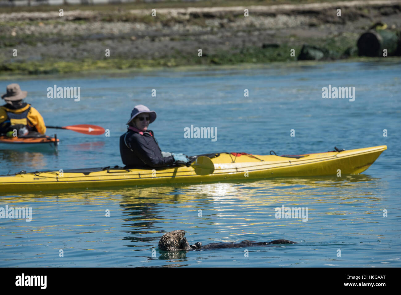 California sea otter, Enhydra lutris nereis ( threatened species ), eats a large shellfish, unconcerned as a kayak - Stock Image