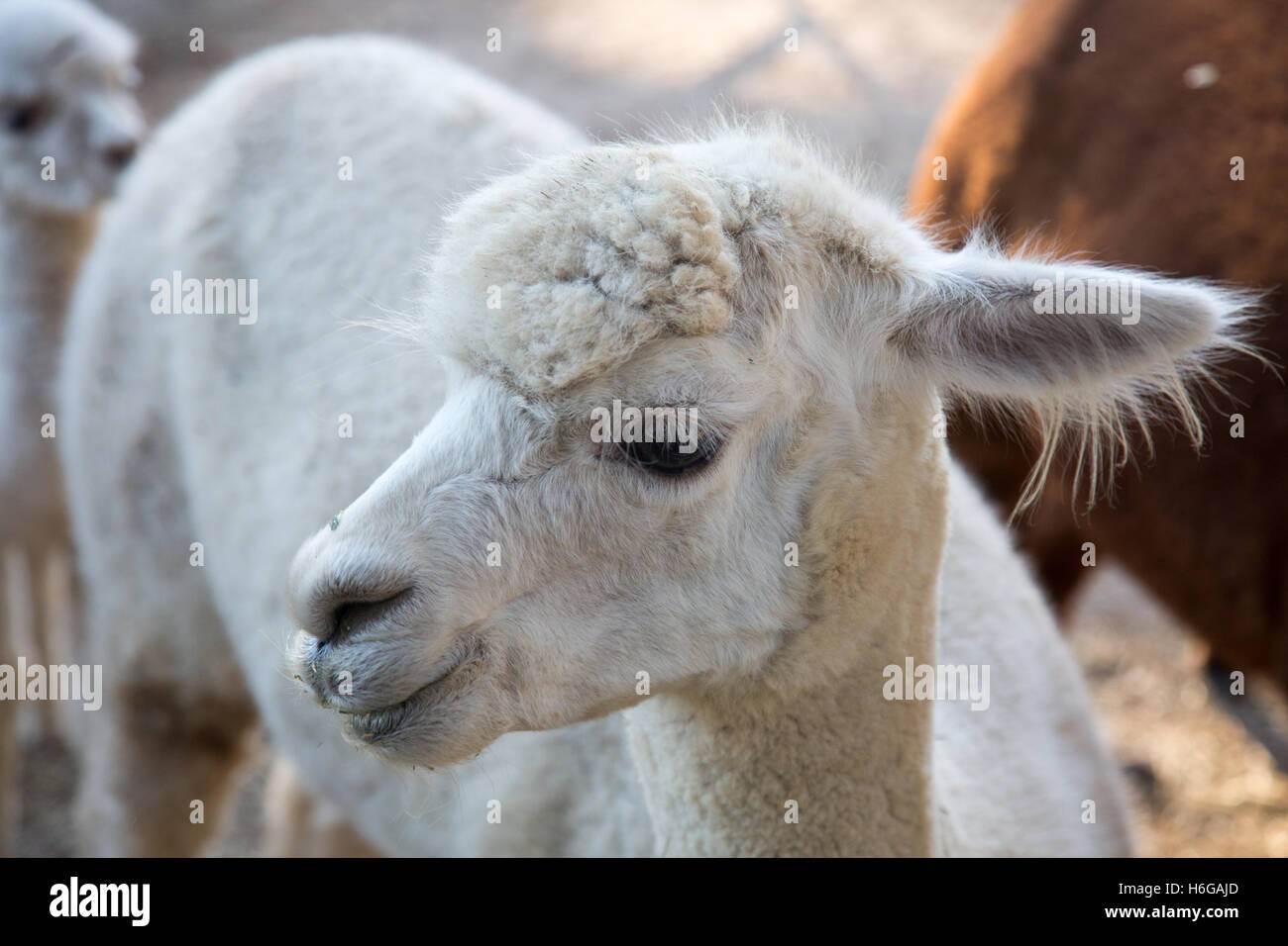 alpaca (Vicugna pacos) on a farm in New south wales,Australia Stock Photo