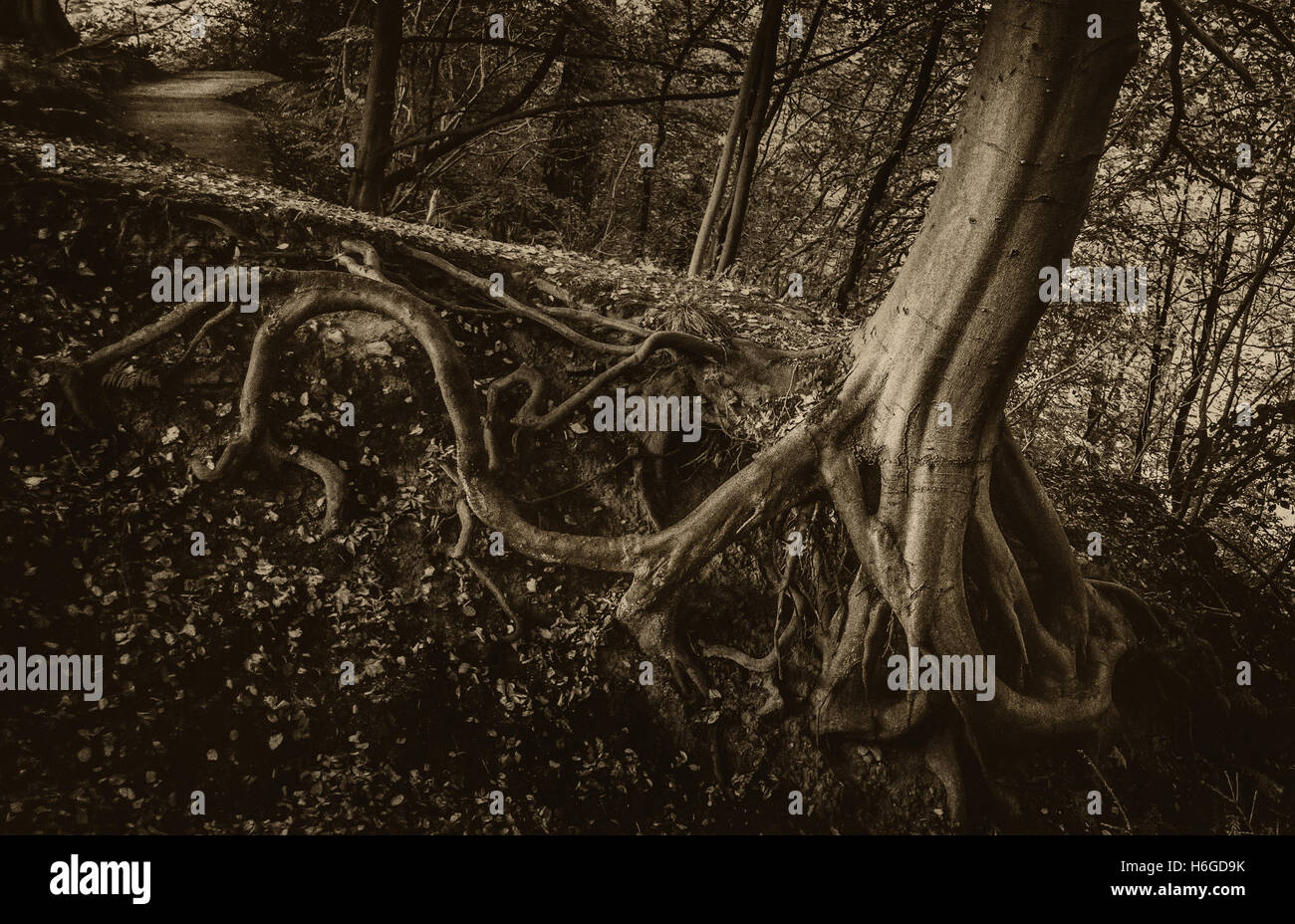 Exposed tree roots with a spooky feel, Bolton Abbey, Yorkshire, UK - Stock Image