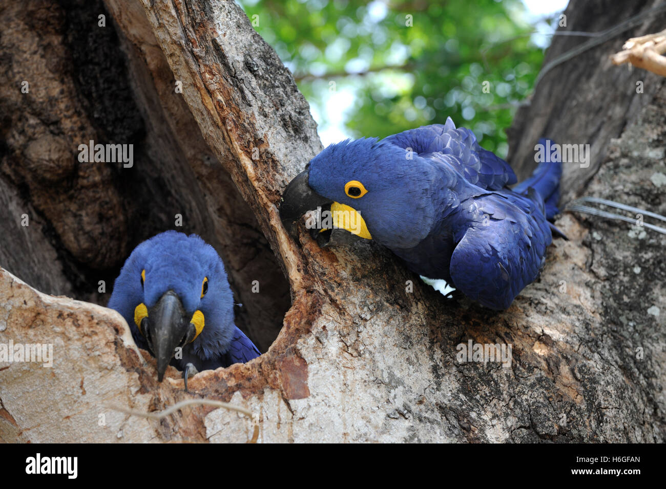 Mating pair of Hyacinth Macaws at a nest hole, in a tree, near Port Jofre, Pantanal, Brazil - Stock Image