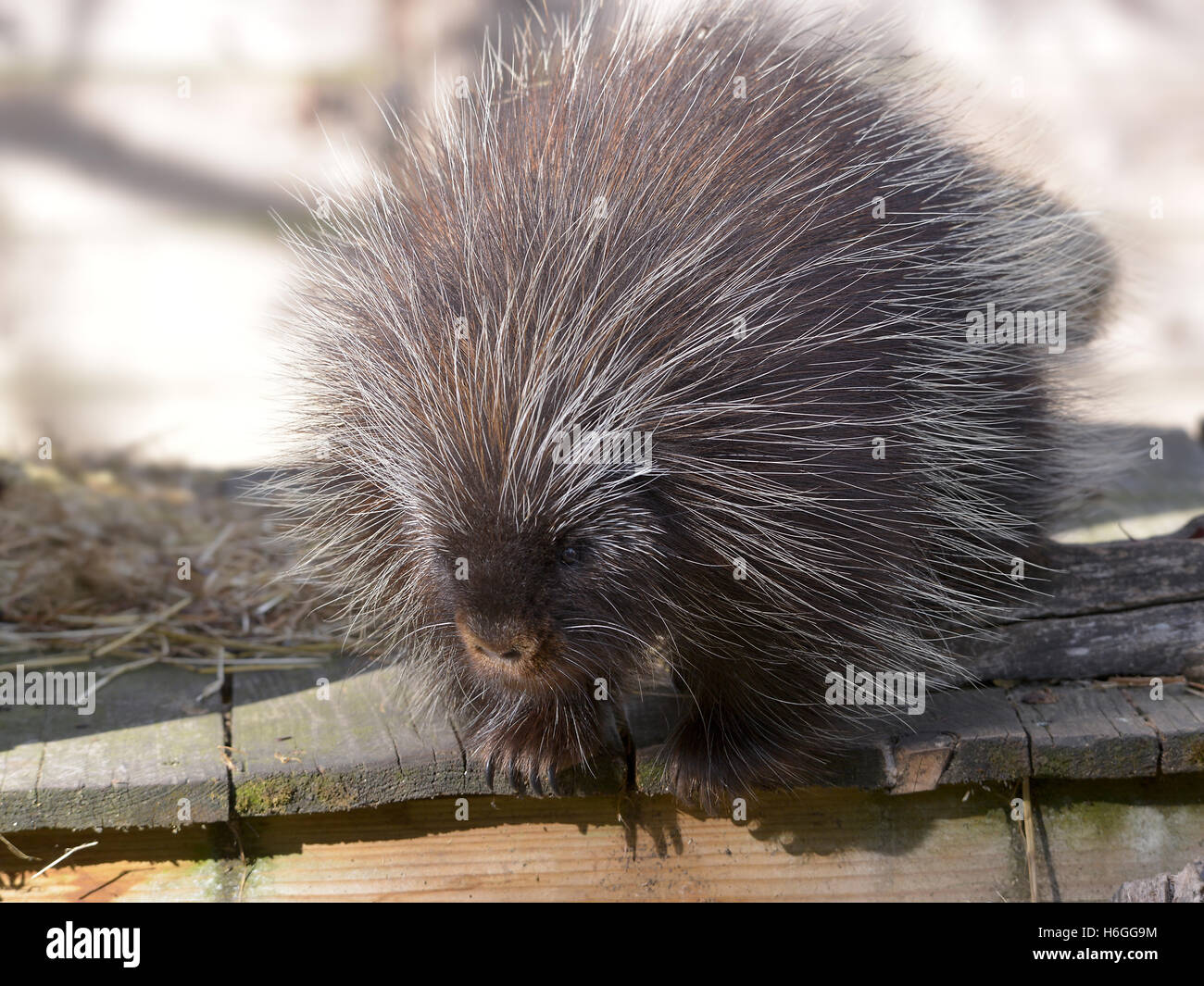 The North American porcupine (Erethizon dorsatum), also known as the Canadian porcupine or common porcupine, on - Stock Image