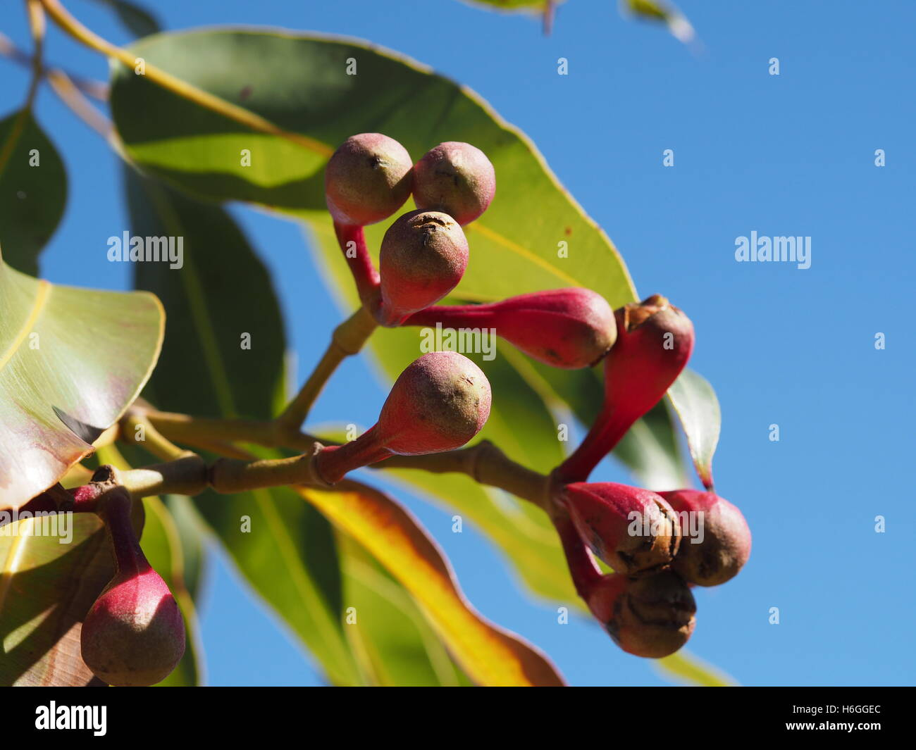 Red berries in the Australian sunshine in front of green leafs and a blue sky - Stock Image