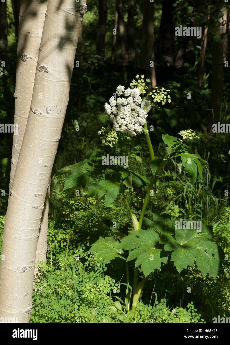 A Cow Parsnip (Heracleum maximum) growing in the San Juan Mountains of Colorado - Stock Image