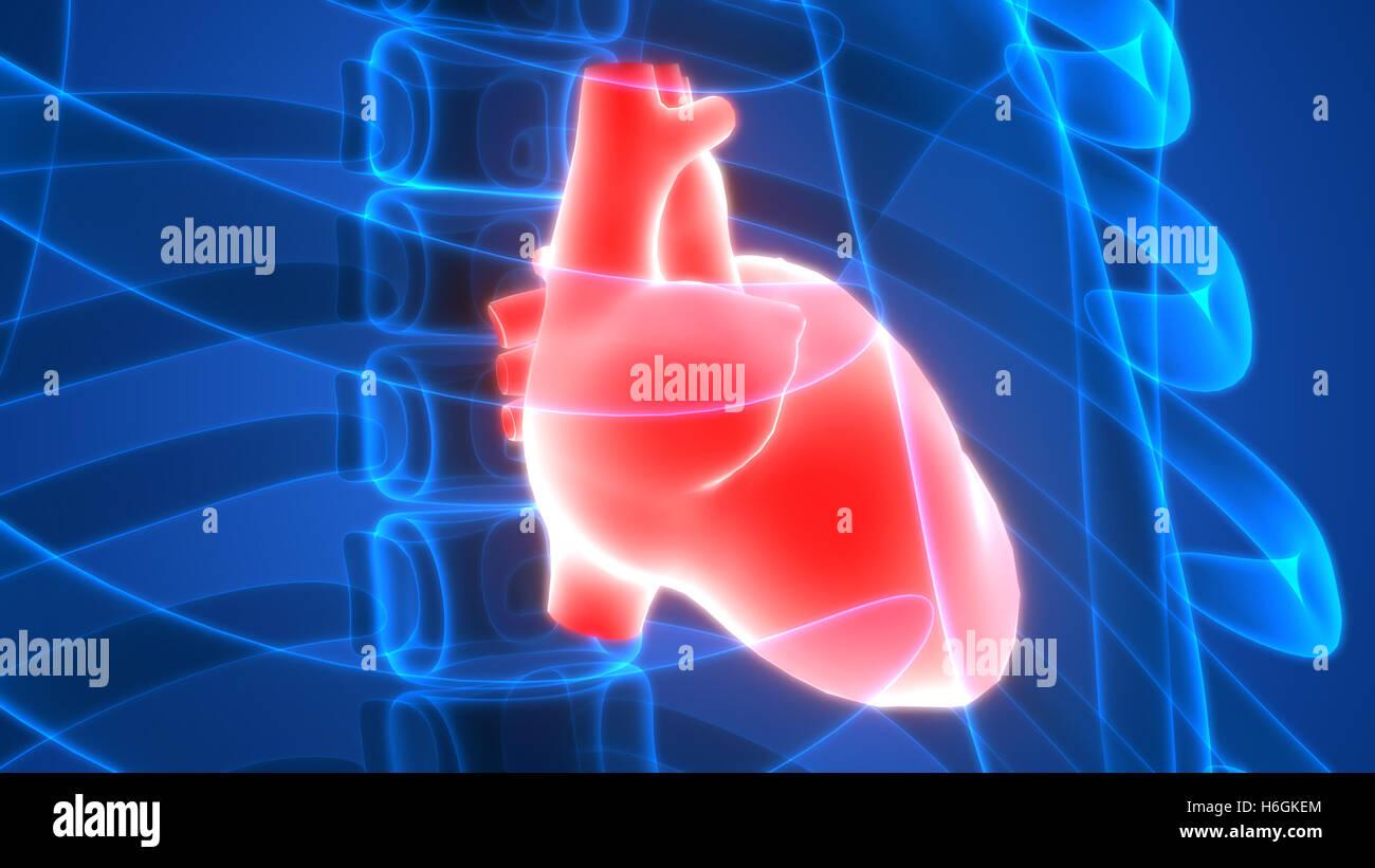 Human Heart Anatomy Stock Photo: 124527052 - Alamy