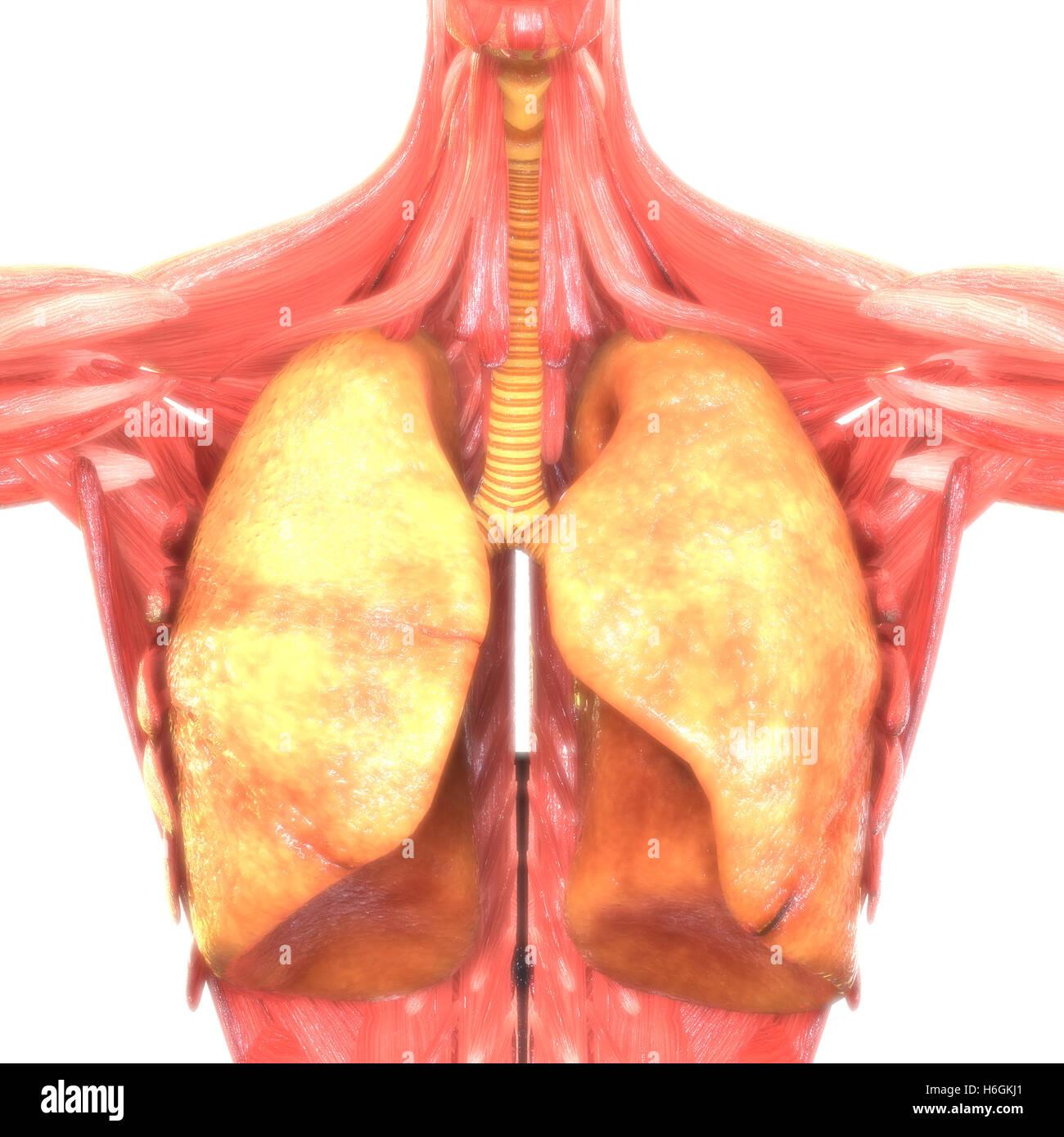 Human Respiratory System Lungs Anatomy Stock Photo 124527145 Alamy