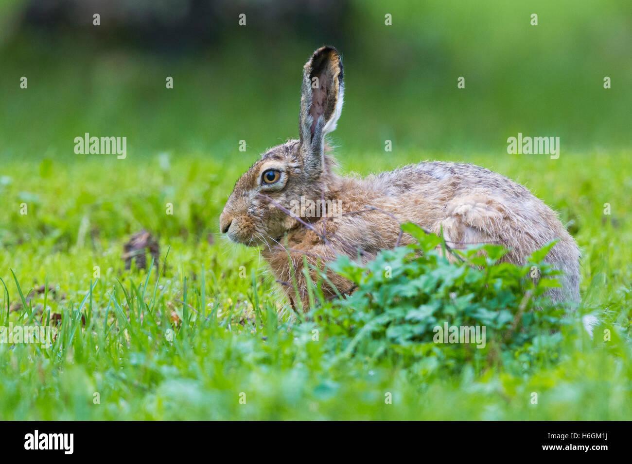 European Hare (Lepus europaeus), standing on the grass - Stock Image
