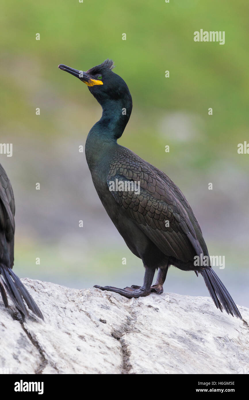 European Shag (Phalacrocorax aristotelis), adult standing on a rock Stock Photo