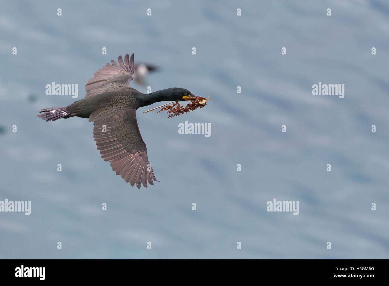 European Shag (Phalacrocorax aristotelis), adult in flight carrying material for the nest - Stock Image