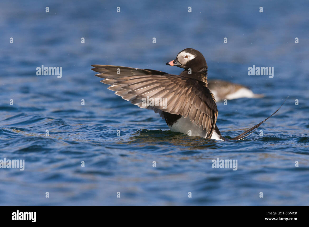 Long-tailed Duck (Clangula hyemalis), adult male flapping wings in the water - Stock Image