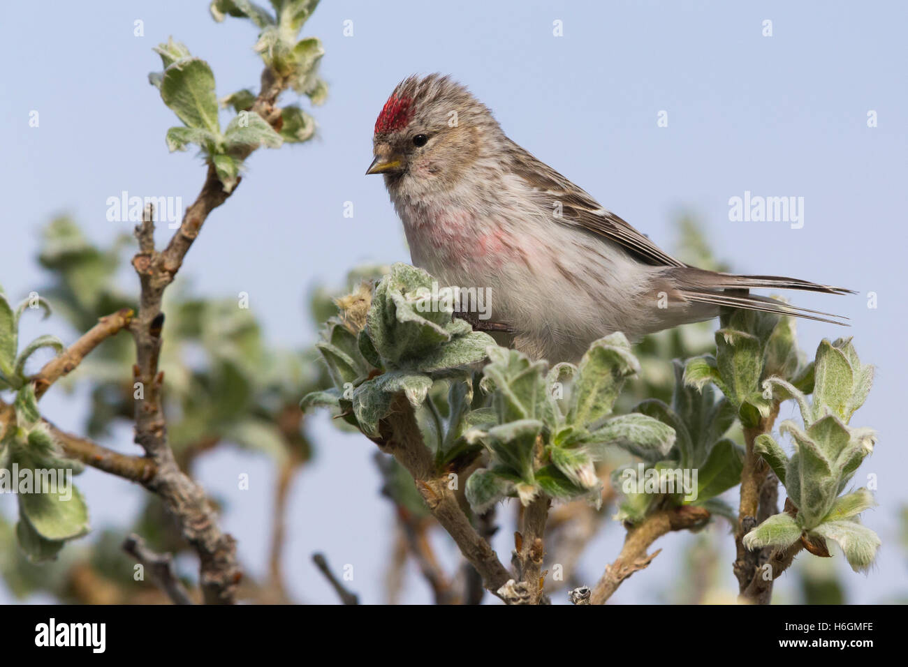 Arctic Redpoll (Acanthis hornemanni), adult perched on a branch - Stock Image