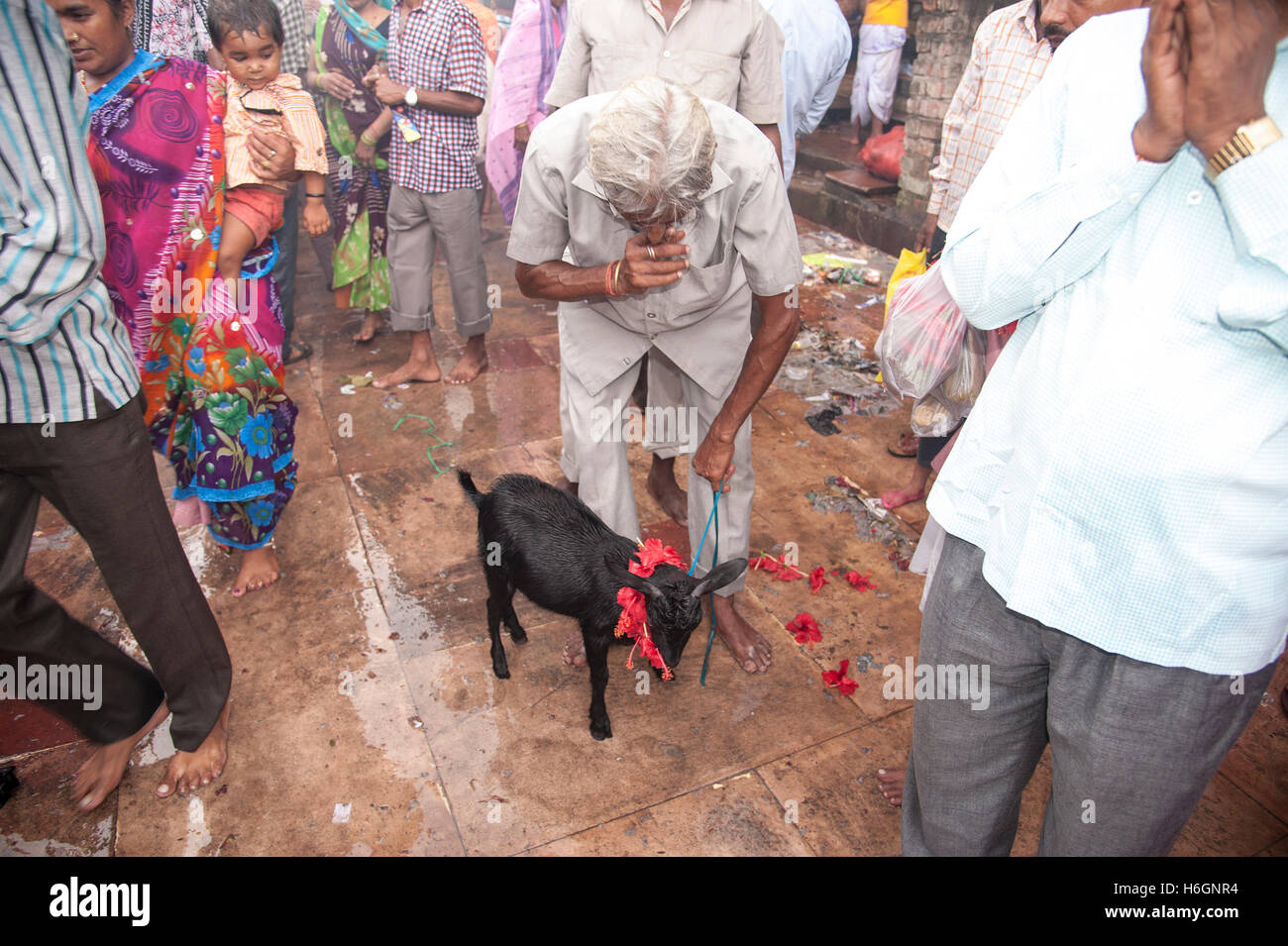 Hindu man worship a Goat  for  sacrifice to goddess as wishes fulfilled by goddess kali ghat Kolkata West  Bengal - Stock Image