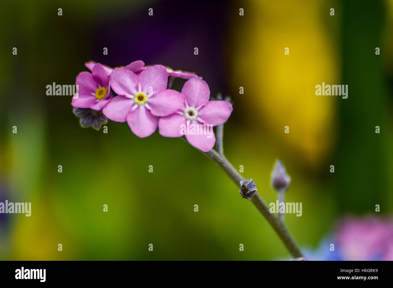Pink forget me not flowers macro stock photo 124530317 alamy pink forget me not flowers macro mightylinksfo