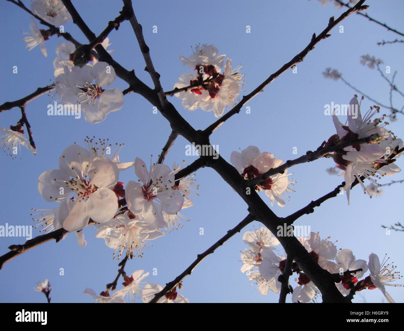 Cherry Blossoms in the early evening sunlight just before sunset during spring at Shichahai, Beijing, China - Stock Image