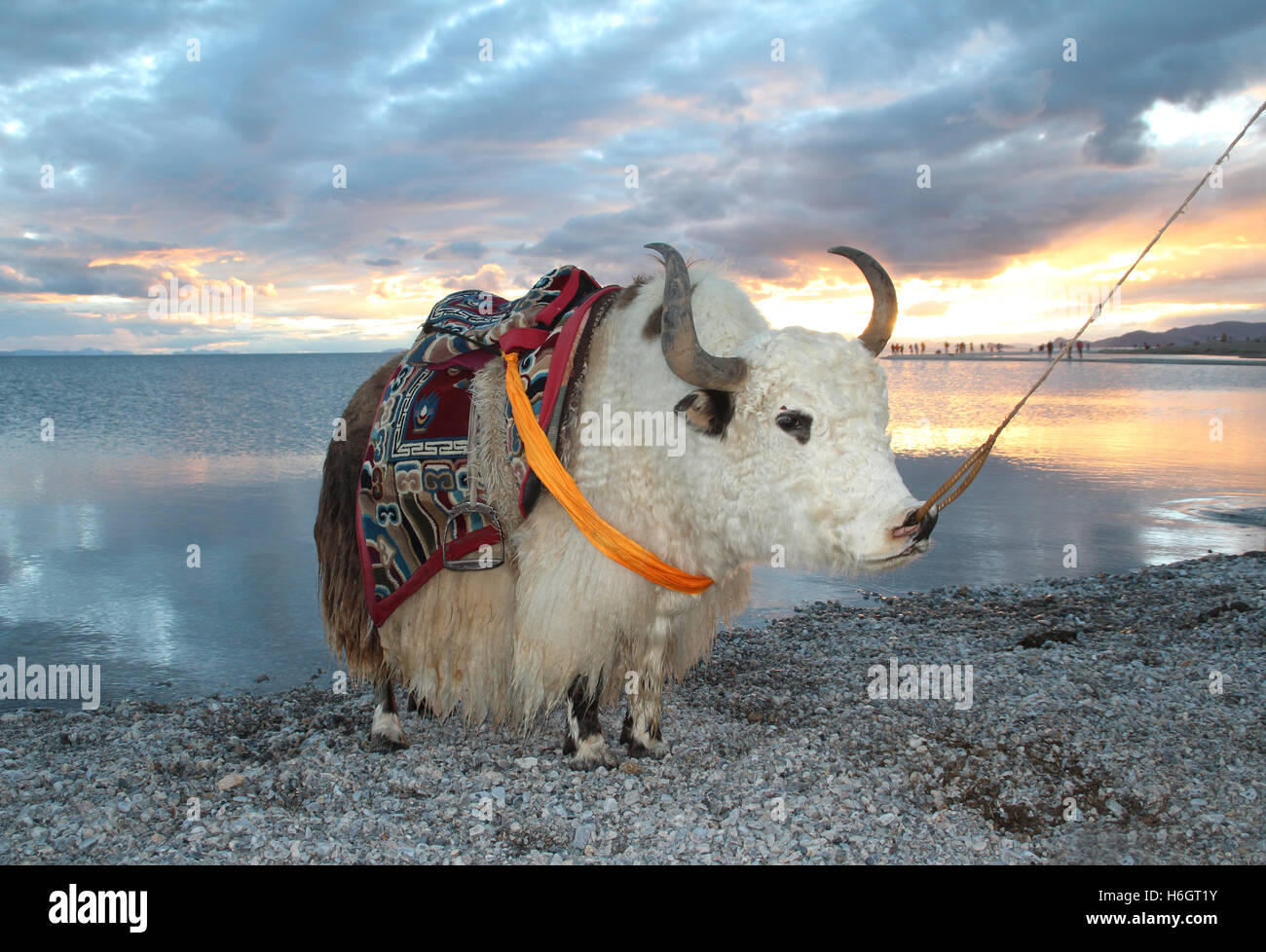 View of the sunset with white yak at Namtso Lake in Tibet, China - Stock Image