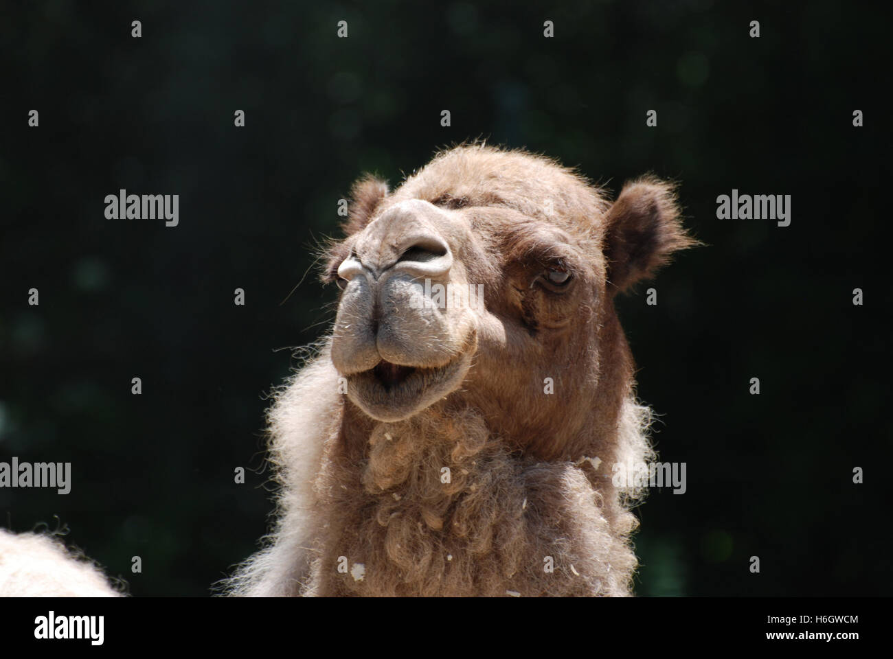 Thick fur on a shaggy camel. - Stock Image