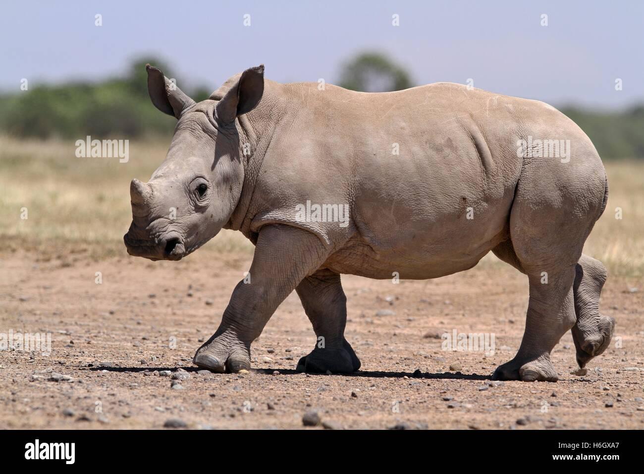 White Rhino calf walking at Ol Pajeta Conservancy, Nanyuki, Kenya - Stock Image