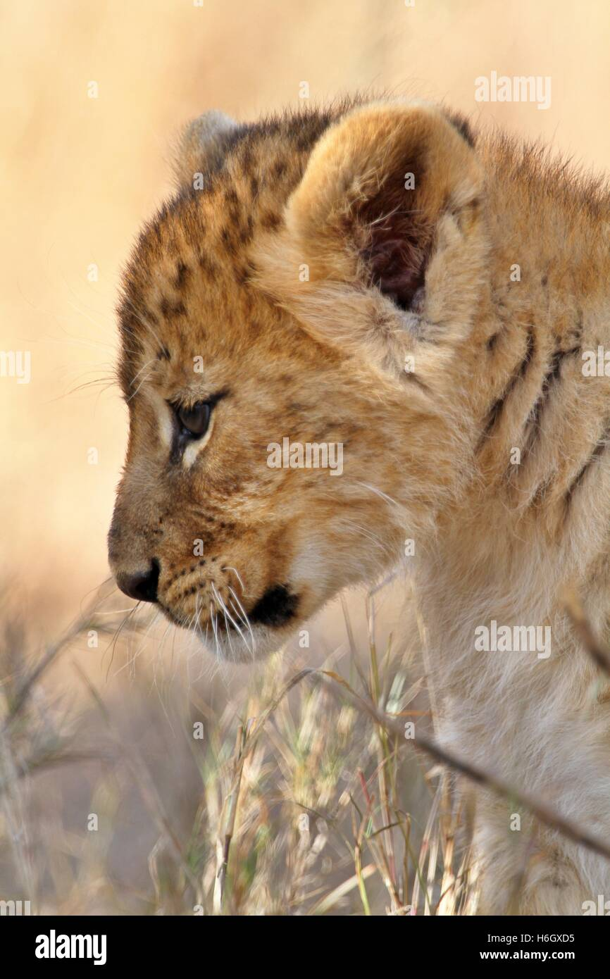 Playful Lion Cub at Ol Pajeta Conservancy, Nanyuki, Kenya - Stock Image