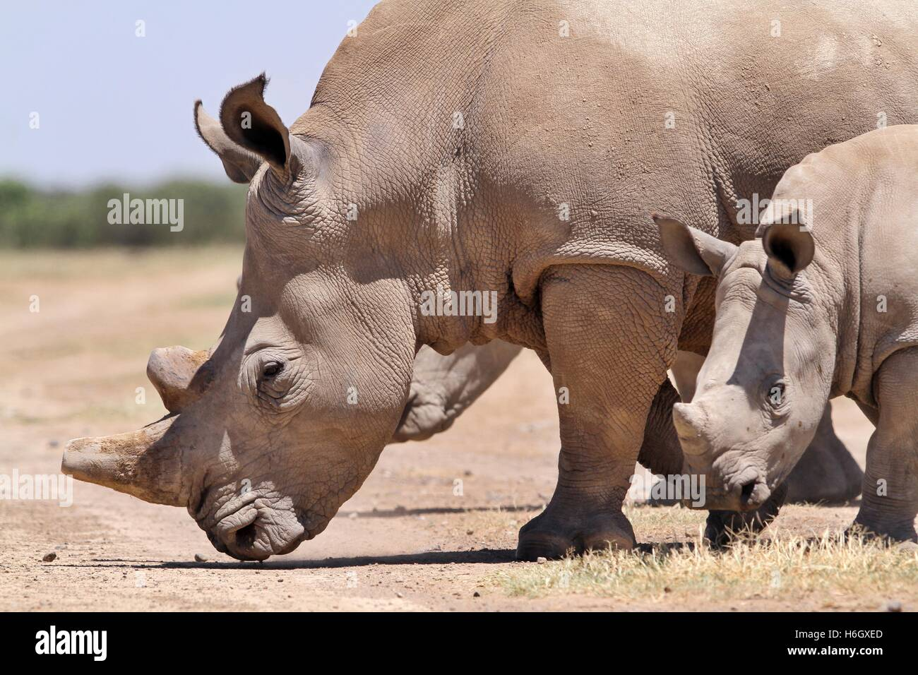 A White Rhino mother walking with her calf at Ol Pajeta Conservancy, Nanyuki, Kenya - Stock Image