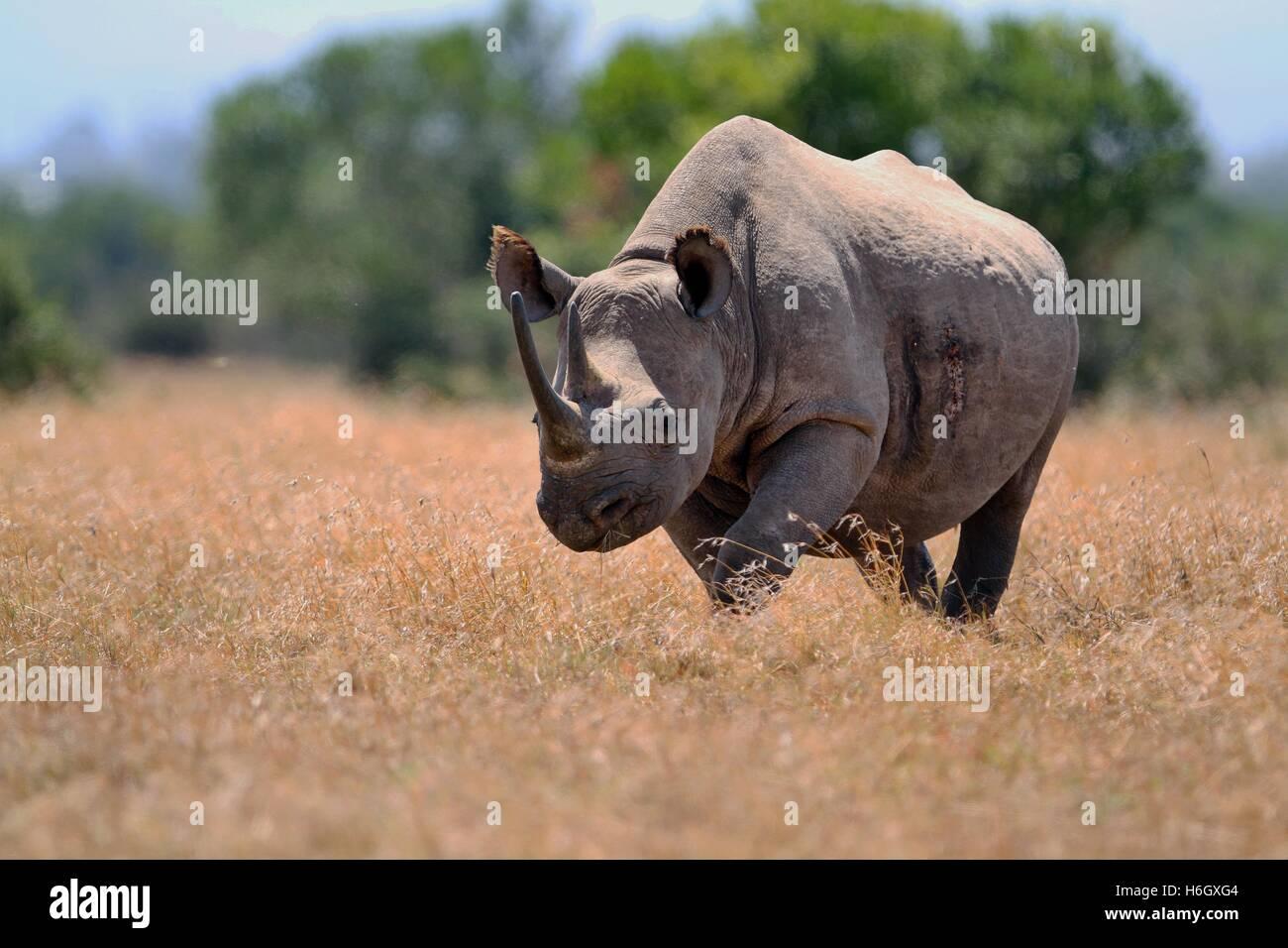 Male White Rhino walking through dry grass at Ol Pajeta Conservancy, Nanyuki, Kenya - Stock Image