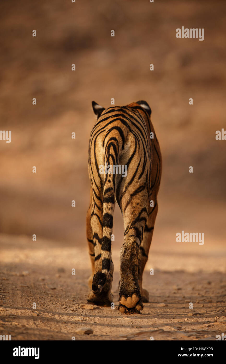 Royal bengal tiger backside from Ranthambhore National Park in India. - Stock Image