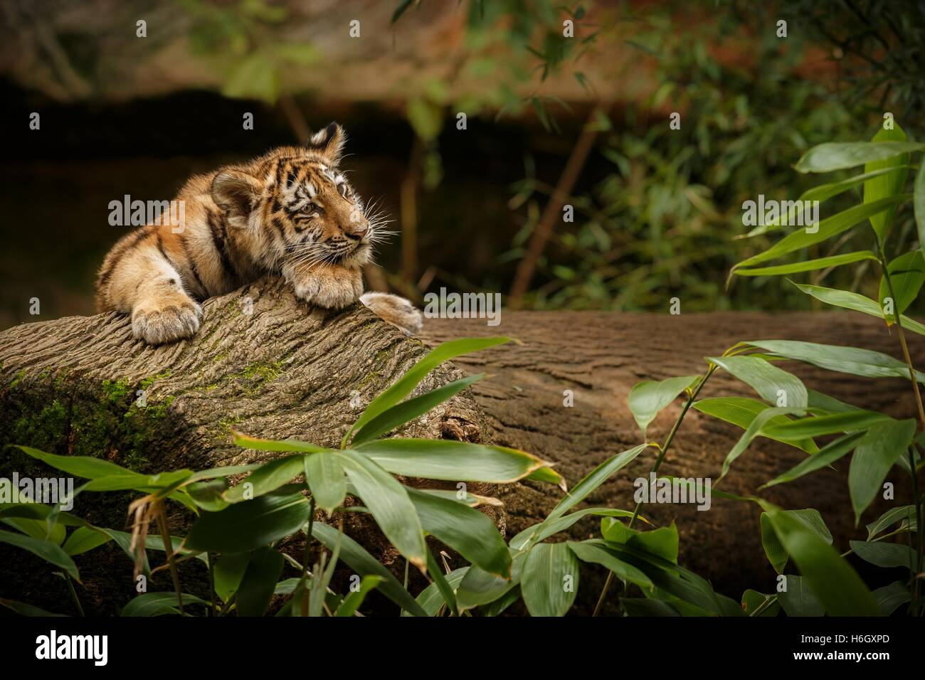 Beautiful tiger cub is resting/captive cat in zoo/Nurnberg in Germany - Stock Image