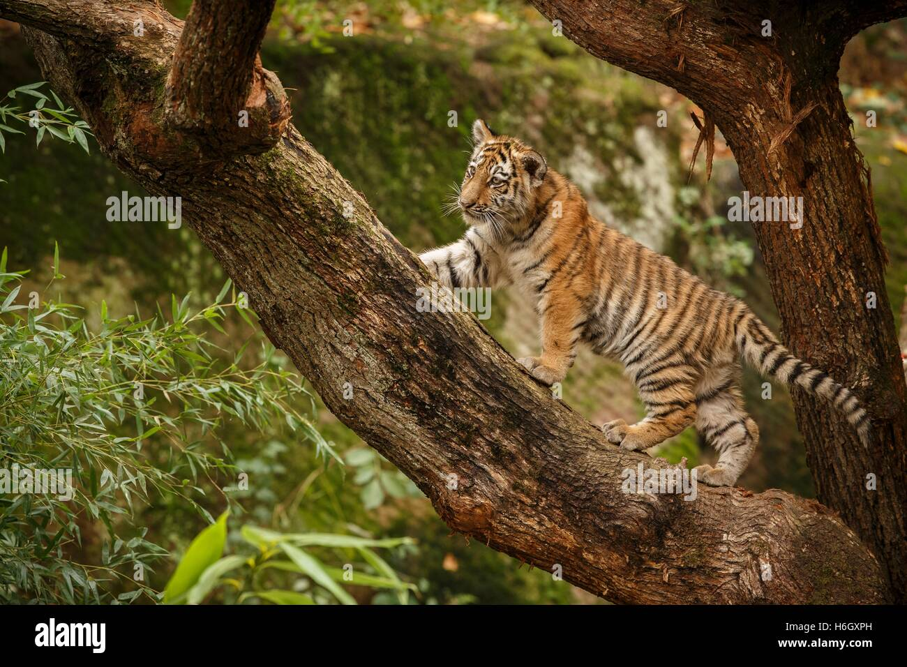 Beautiful tiger family are resting/captive cat in zoo/Nurnberg in Germany - Stock Image