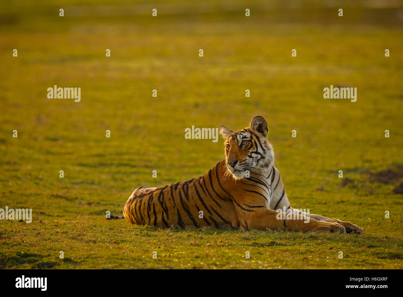 Tiger in a beautiful golden light in Ranthambhore National Park in India. Stock Photo
