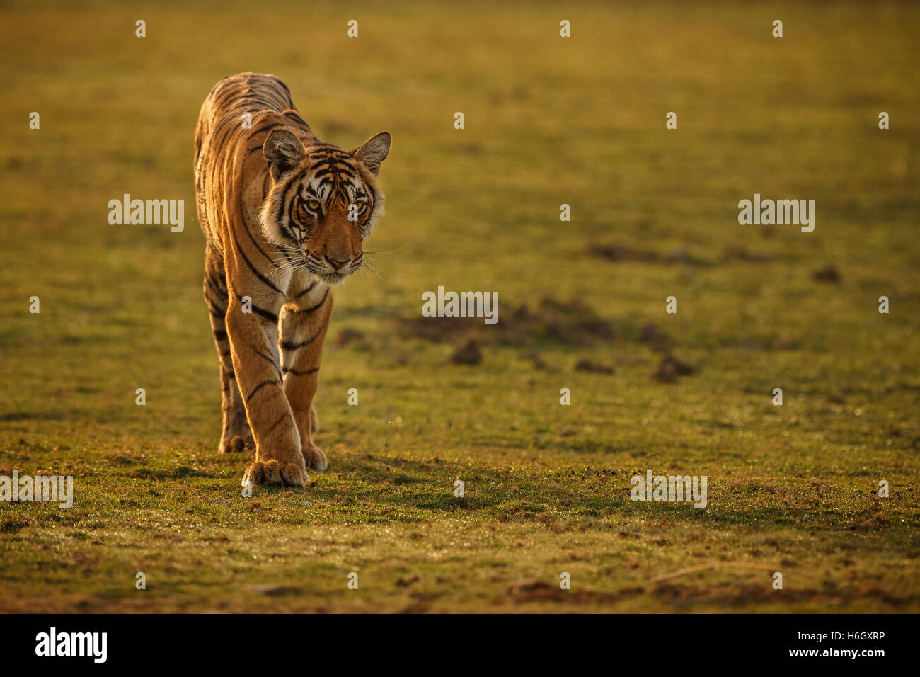 Tiger in a beautiful golden light in Ranthambhore National Park in India. - Stock Image