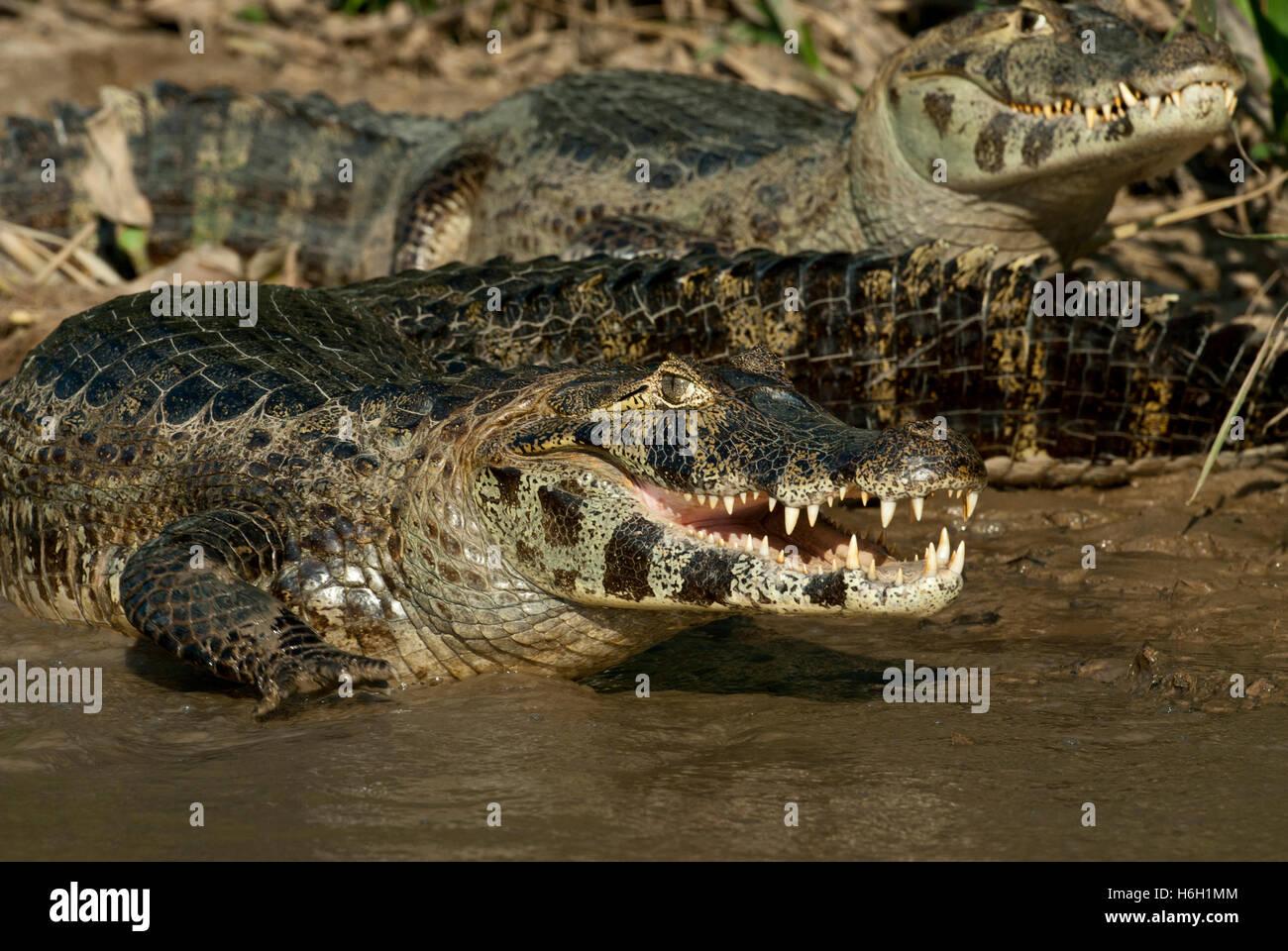 Yacare caiman (Caiman yacare) in a river in the Pantanal, Brazil - Stock Image