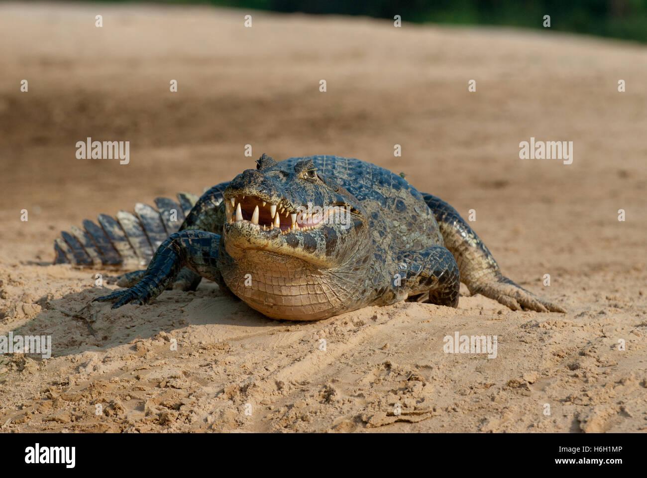 Yacare caiman (Caiman yacare) on a sandbar in the Pantanal, Brazil - Stock Image