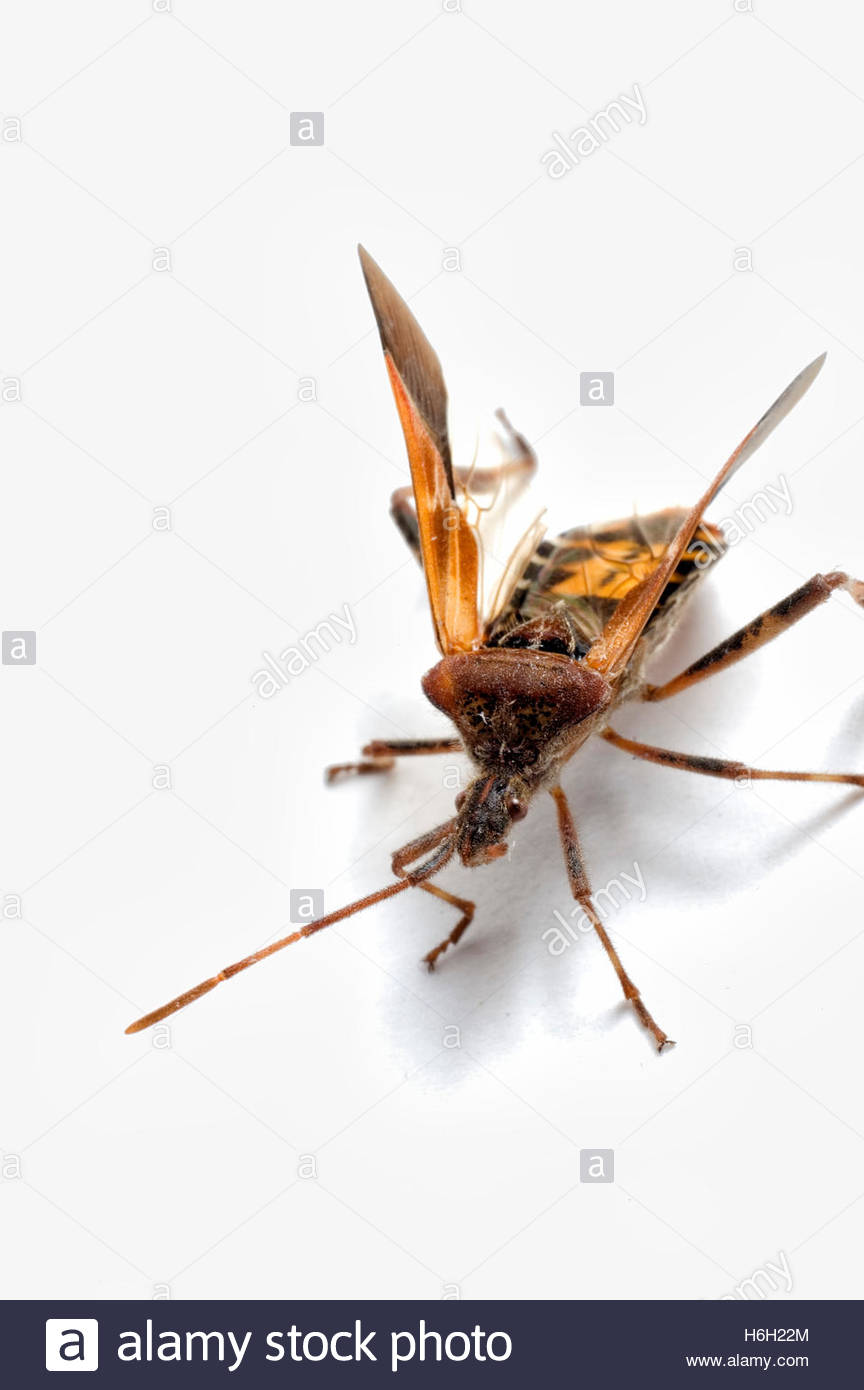 Western Conifer Seed Bug - Stock Image