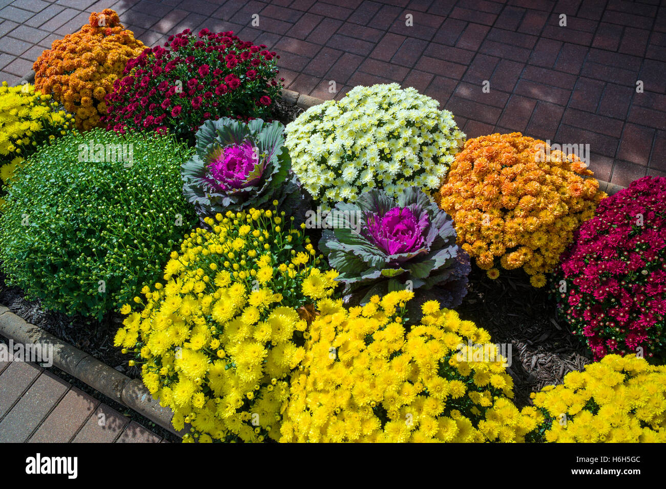 Mums; chrysanthemum; in landscaped gardens of Omni Bedford Springs Resort & Spa; Bedford; Pennsylvania; USA - Stock Image