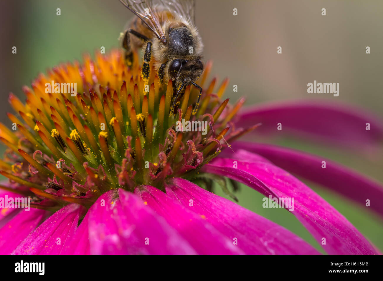 Bee on a Cone Flower - Stock Image
