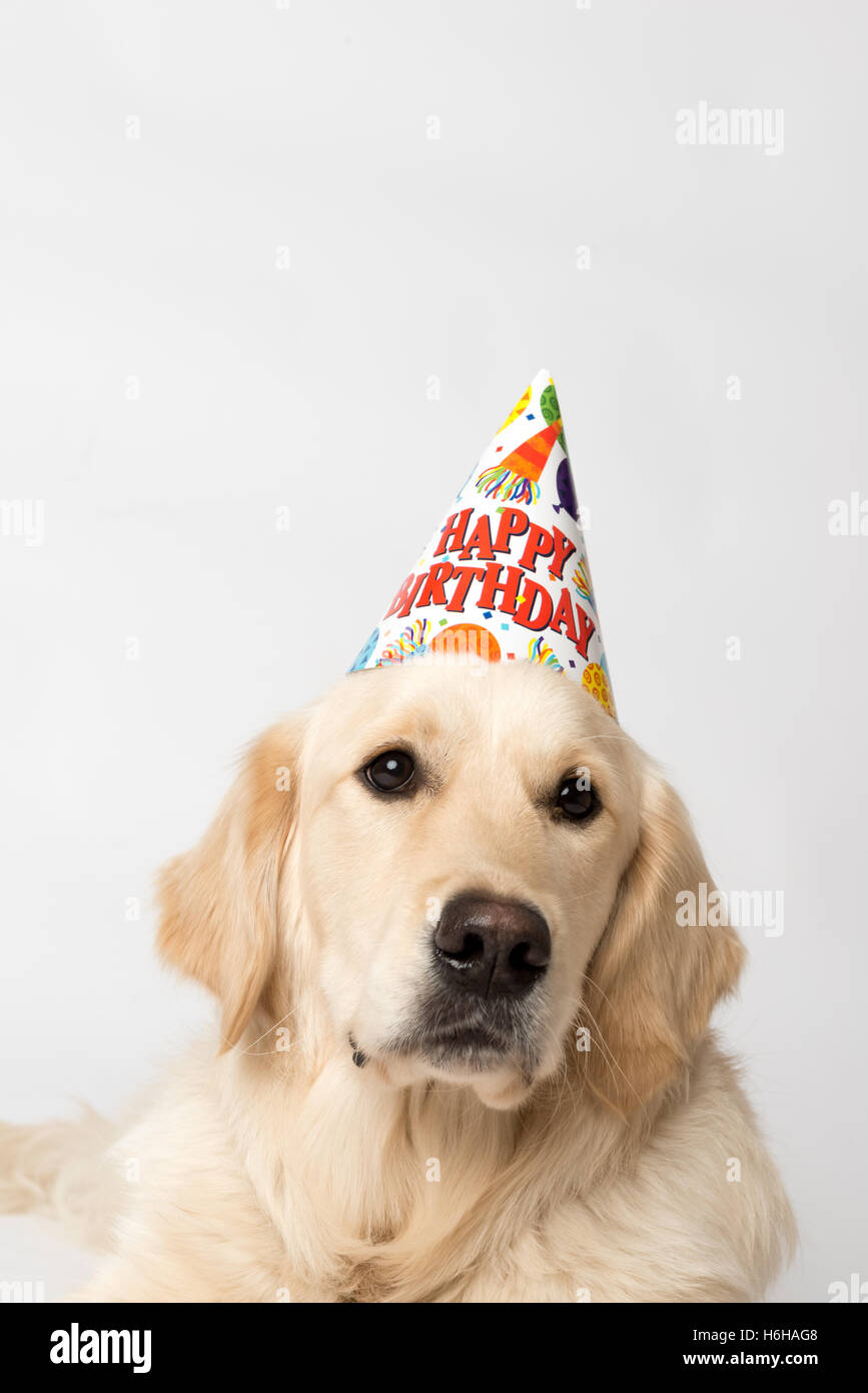 Birthday Dog With Party Hat And Cupcake Seems Unimpressed By His Shot On White Is English Golden Retriever