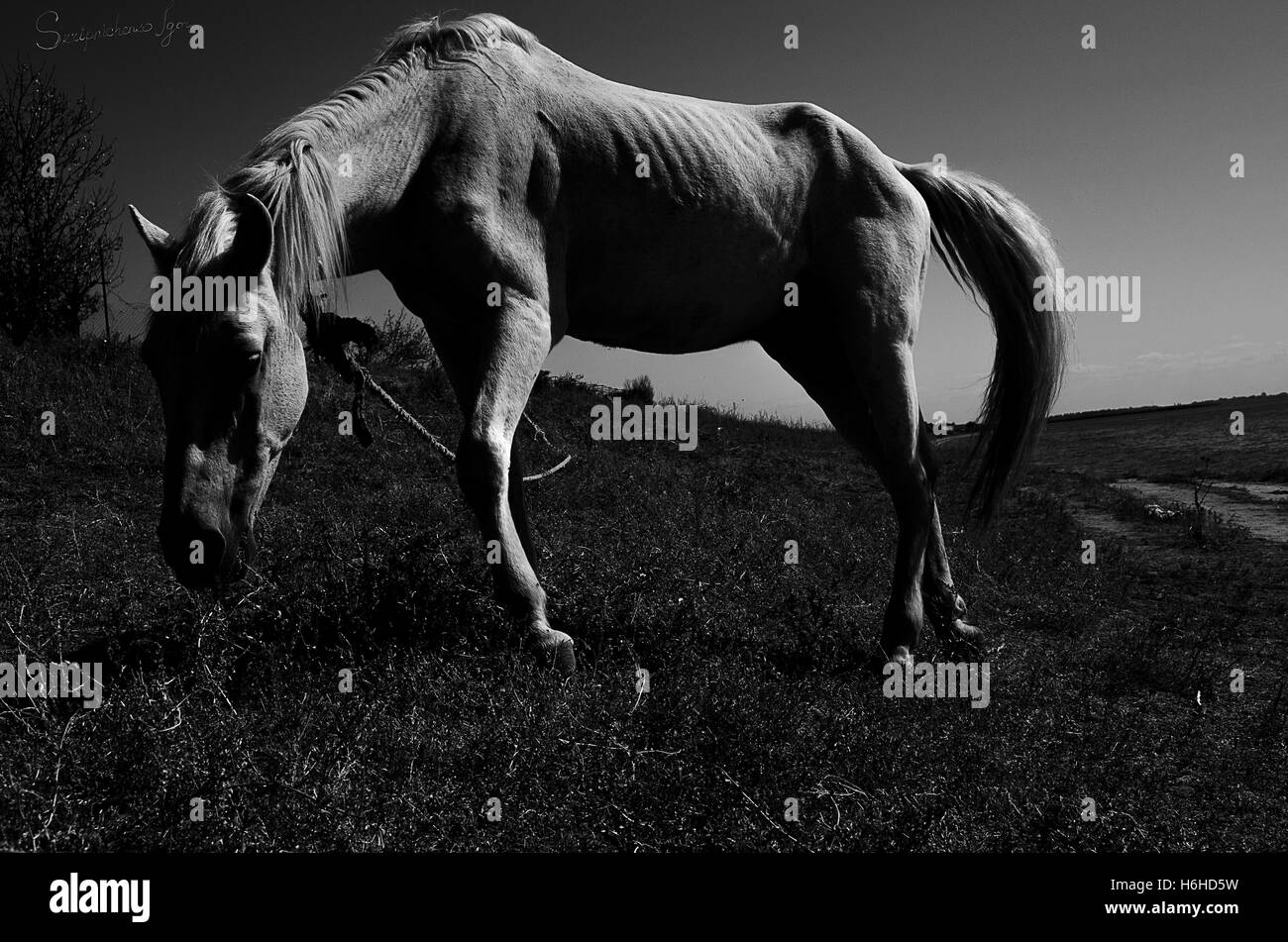 White horse in field - Stock Image