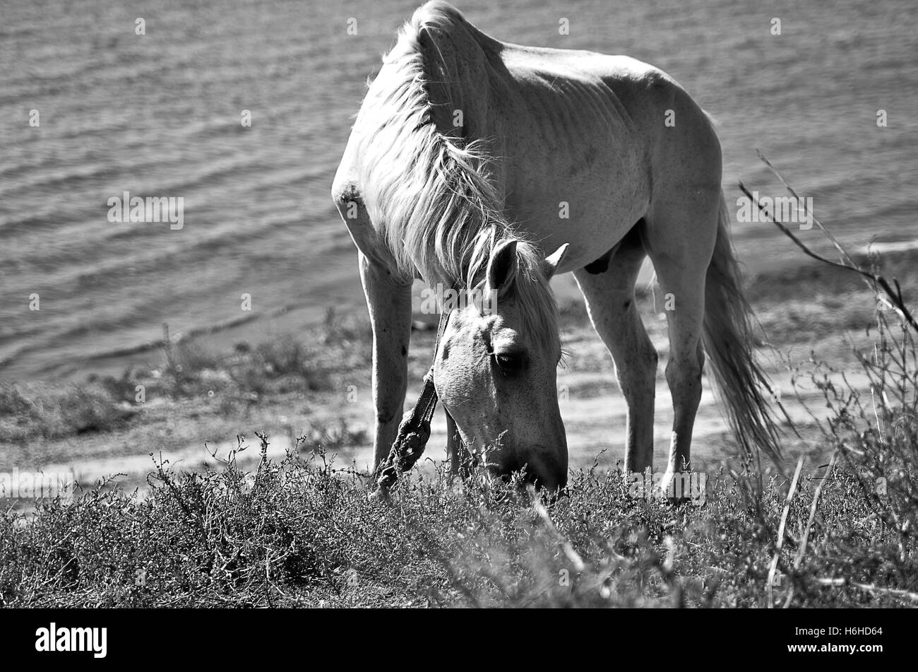 White horse on the river bank - Stock Image
