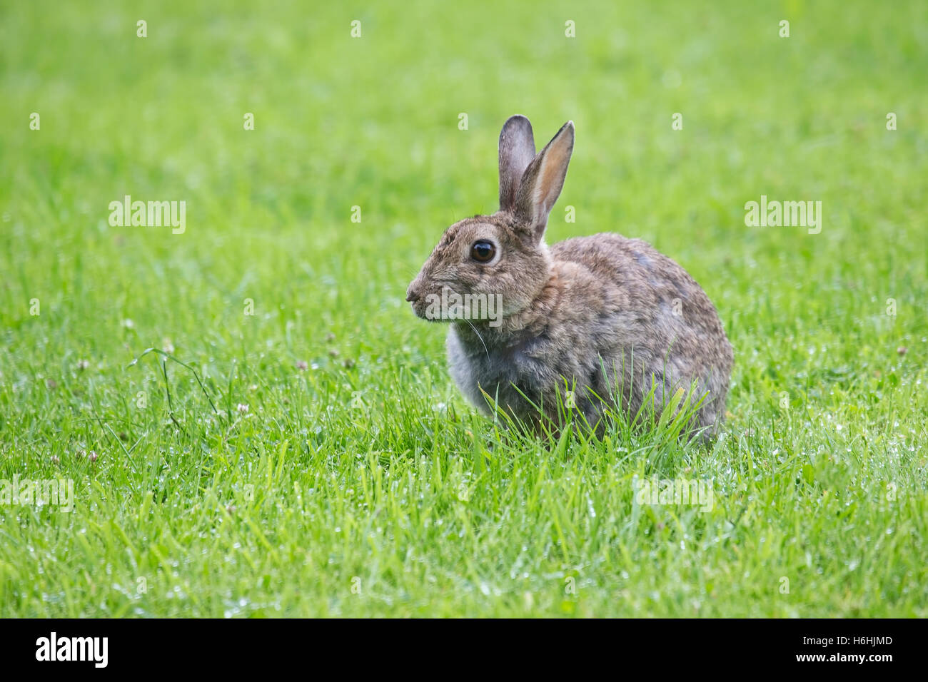European Rabbit Oryctolagus cuniculus with ears pricked and wide eyed  looking alert in a grass field - Stock Image