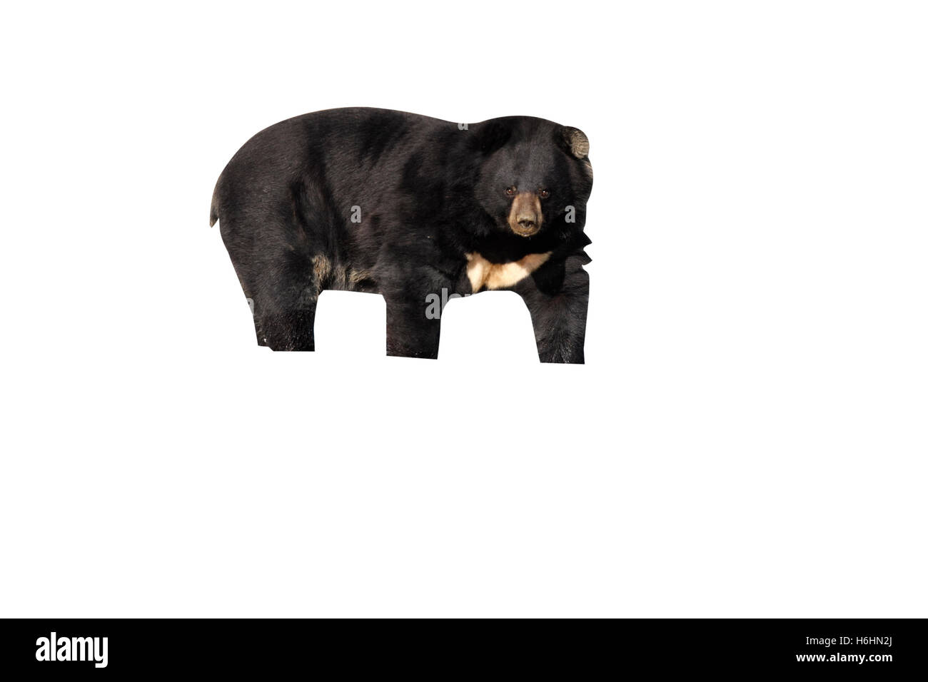 Asiatic Black Bear, Ursus thibetanus, single mammal in water - Stock Image