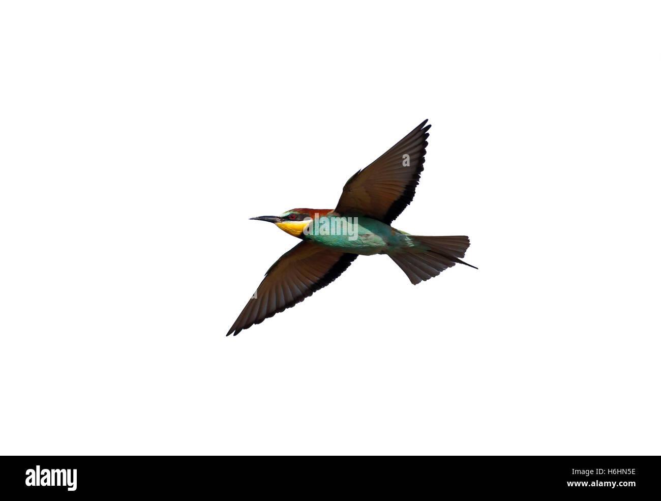 European bee-eater, Merops apiaster, single bird in flight, Bulgaria, May 2013 Stock Photo