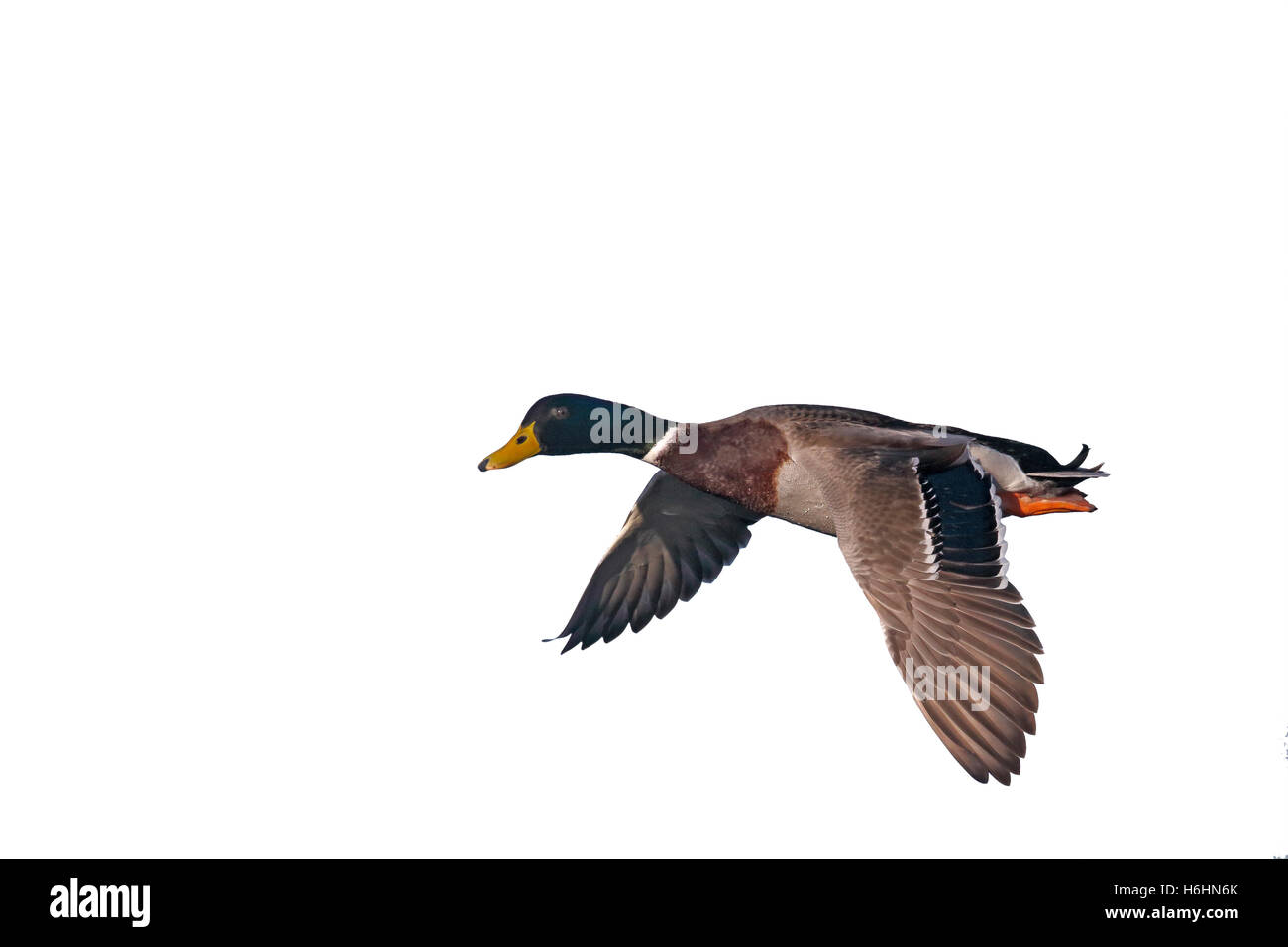Mallard, Anas platyrhynchos, single male in flight, Norfolk, January 2015 - Stock Image