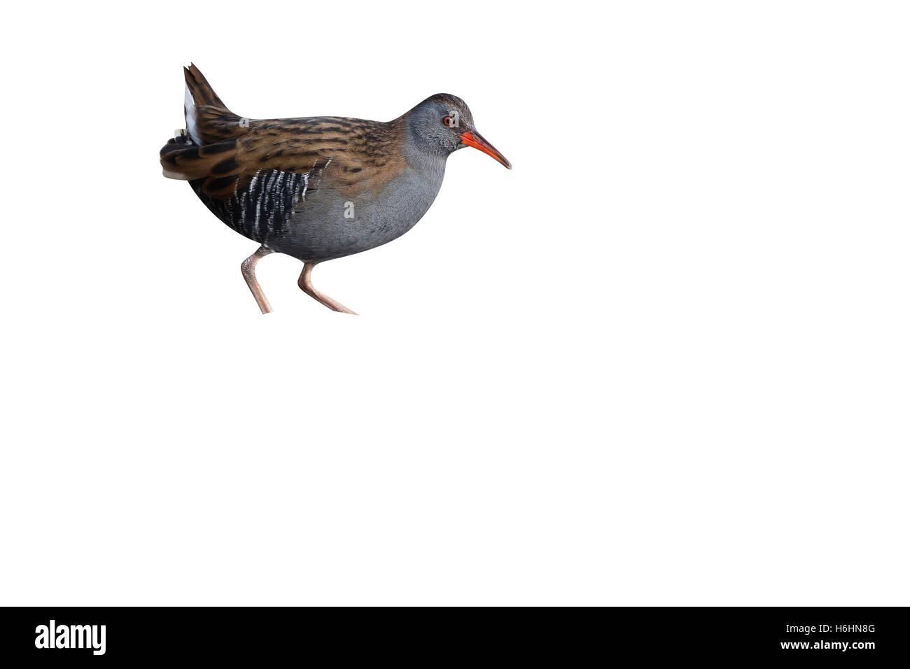 Water rail, Rallus aquaticus, single bird in marsh, Warwickshire, December 2014 - Stock Image