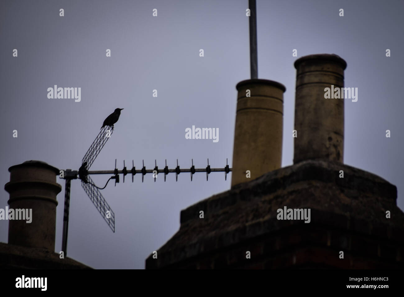 Urban scene, silhouette of starling on tv aerial with house chimney pots in the foreground - Stock Image