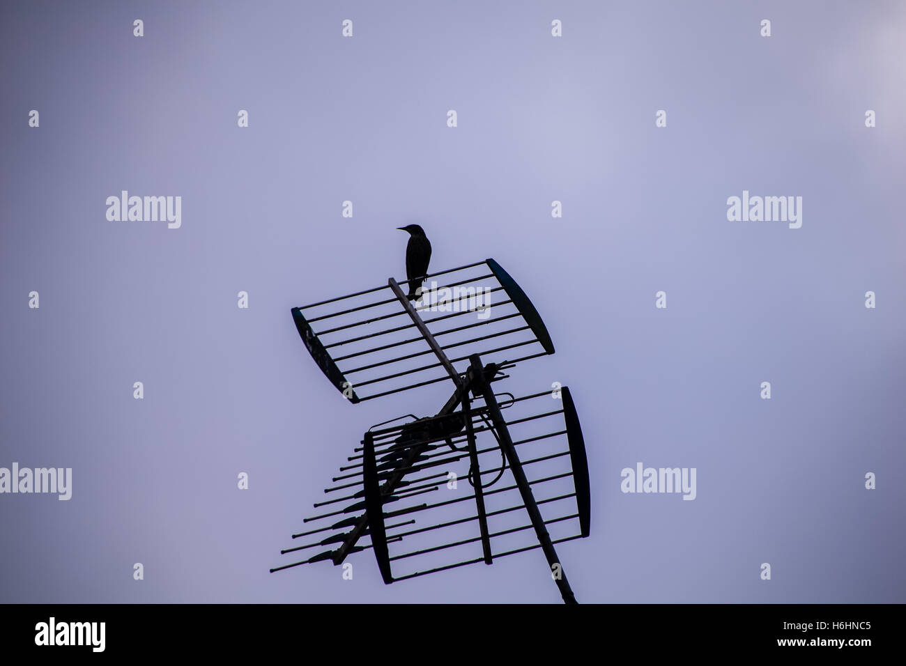 Silhouette of starling on tv aerial - Stock Image